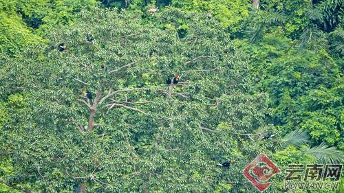 罕见!云南盈江拍摄到15只犀鸟成群觅食