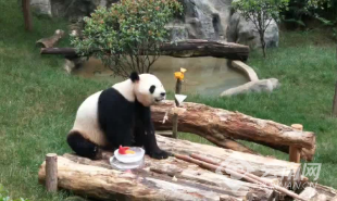 """万博manbetx手机版下载:动物过端午 """"百味粽子""""吃不停"""