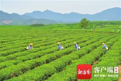 白沙绿茶标准化产业园获评省级现代农业产业园