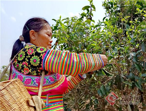 南伞镇营盘村马栗树自然村苗族妇女正在天沐茶园采摘鲜叶。